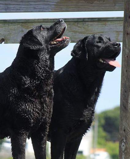 Retriver do Labrador